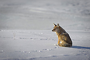 A coyote (Canis latrans) takes in the sun on a cold Winter morning, Wyoming