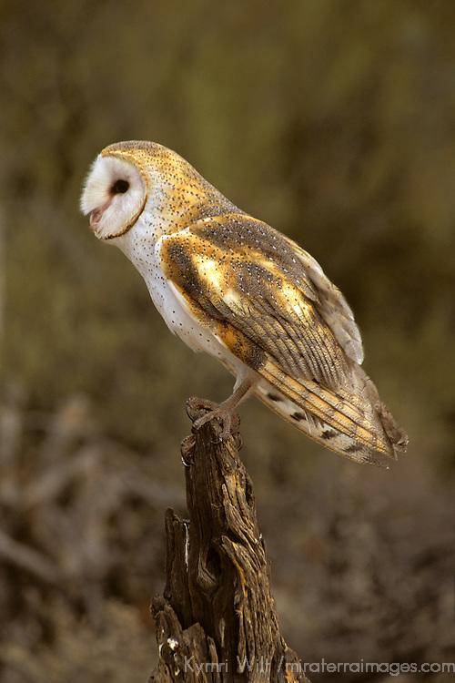 North America, Americas, USA, United States, Arizona. Common Barn Owl, Arizona-Sonora Desert Museum.