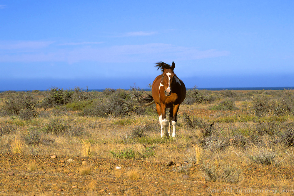 South America, Americas; Argentina, Patagonia. A lone horse on the windswept Patagonian plains.