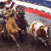 At the Chonchi Rodeo on Chiloé Island, Huasos (Chilean cowboys, skilled horsemen) try to pin a bull against a fence between two flags then reverse the animal, three times. Alli, alli, alli! Good and bad points (bueno y malo) are awarded for their efforts. Huasos are found all over Central and Southern Chile (but the Magellanes Region sheep raisers are called gauchos). A country woman skilled with horses is a huasa, and the wife or sweetheart of a huaso is called a china. Founded in 1767, Chonchi is a town of 12,500 people (as of 2002) on Isla de Chiloé, the largest island in Chile. Huasos typically wear a straw hat called a chupalla and a poncho (called a manta or a chamanto) over a short Andalusian waist jacket. Photo is from 1993 in Chonchi, Chiloé Island, Los Lagos Region, Zona Austral, Chile, South America.
