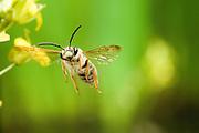 A small leafcutter bee (Megachile sp.) in flight. Prairie habitat, NE Oregon.