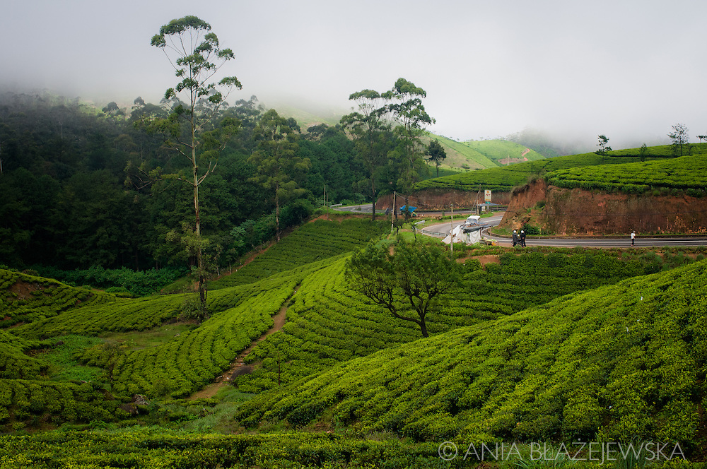 Sri Lanka. Early morning on the green tea plantations near Nuwara Eliya.