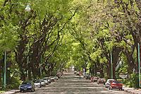 TIPAS O TIPUANAS (Tipuana tipu) EN LA CALLE MELIAN, BARRIO DE BELGRANO, BUENOS AIRES, ARGENTINA
