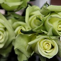 South America, Ecuador, Cayambe. Roses for export at Rosadex Plantation.