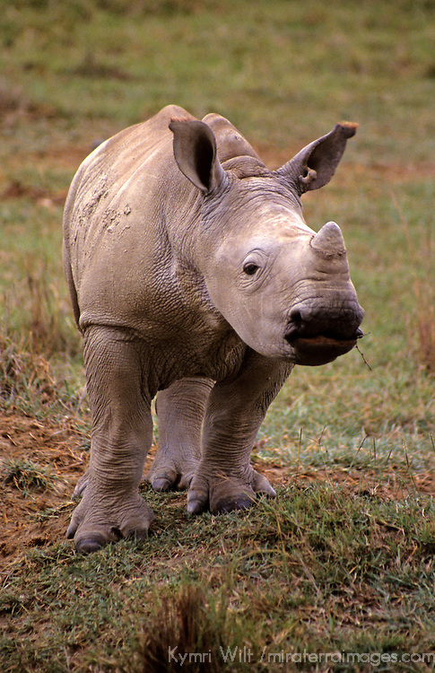 East Africa, Kenya. Young White Rhino