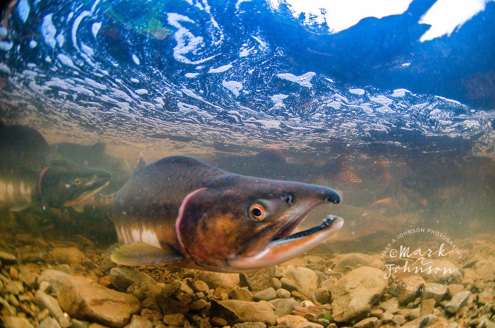 Underwater view of spawning salmon, Sitka, Alaska