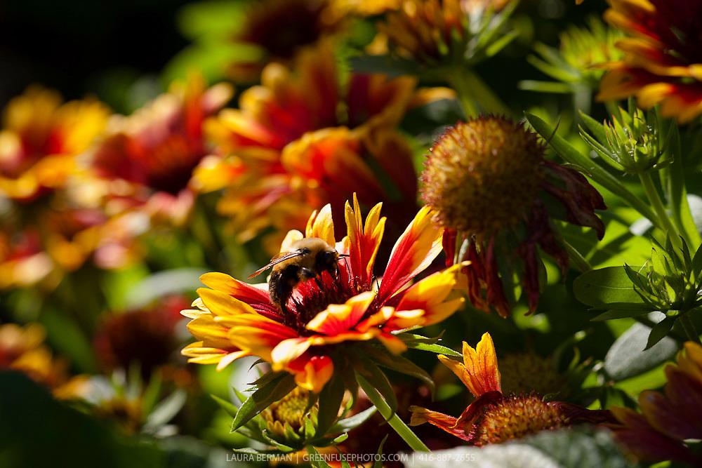 A large bumblebee on an Arizona Sun Blanket Flower (Gaillardia grandiflora 'Arizona Sun').