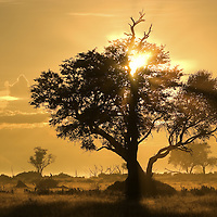 Sunrise sunlight streaming through the branches of a silhouetted tree, Botswana.