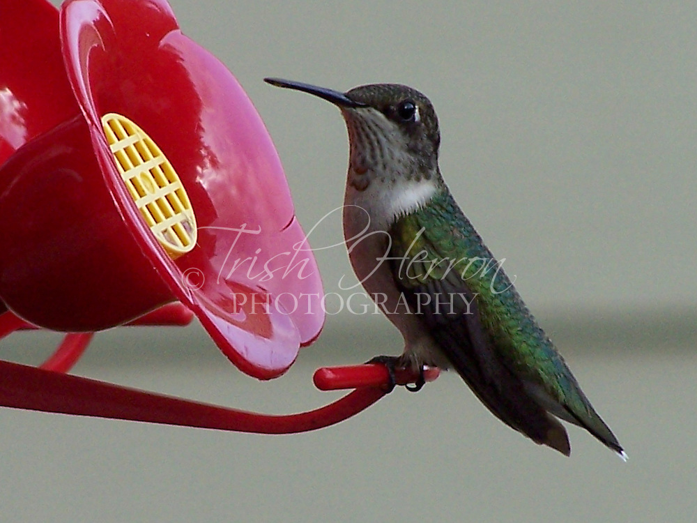 A female ruby-throated hummingbird rests at a hummingbird feeder.