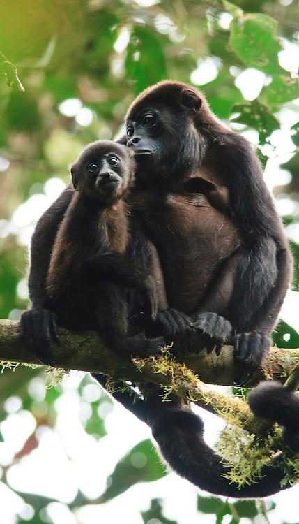 Mantled Howler Monkey Mother with Pup (Alouatta palliata) in the chocó cloud forest  at the Biological Station Bilsa, Mache-Chindul Reserve, Ecuador - Mantelbrüllaffen Mutter mit Nachwuchs im Chocó Nebelwald an der Biologischen Station Bilsa, Mache-Chindul-Schutzgebiet, Ekuador