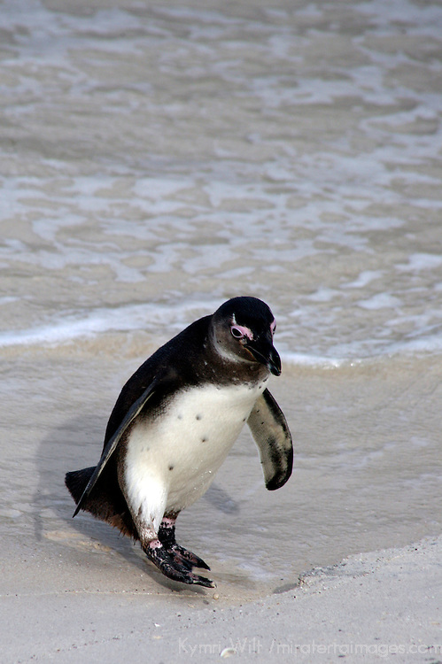 Africa, South Africa, Simons Town, Boulders Beach. African Penguin steps out of the water at Boulders Beach near Simons Town on False Bay.