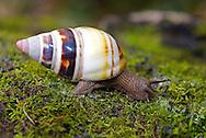 Florida Tree Snail  (Liguus fasciatus), Miami, Florida, USA