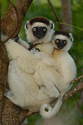 Verreaux's Sifaka (Propithecus verreauxi) mother and baby, vulnerable, Berenty Reserve, southern Madagascar