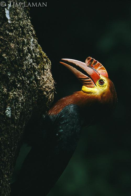 Close view of a critically endangered Walden's hornbill.