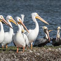 Texas Gulf Coast - <br /> American White Pelican, Pelicanus erythrorhynchos, Brown Pelican, Pelicanus occidentals, Neotropic cormorant, Phalacrocorax brasilianus