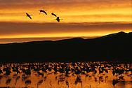 Sandhill cranes, Grus canadensis, in water at sunrise.