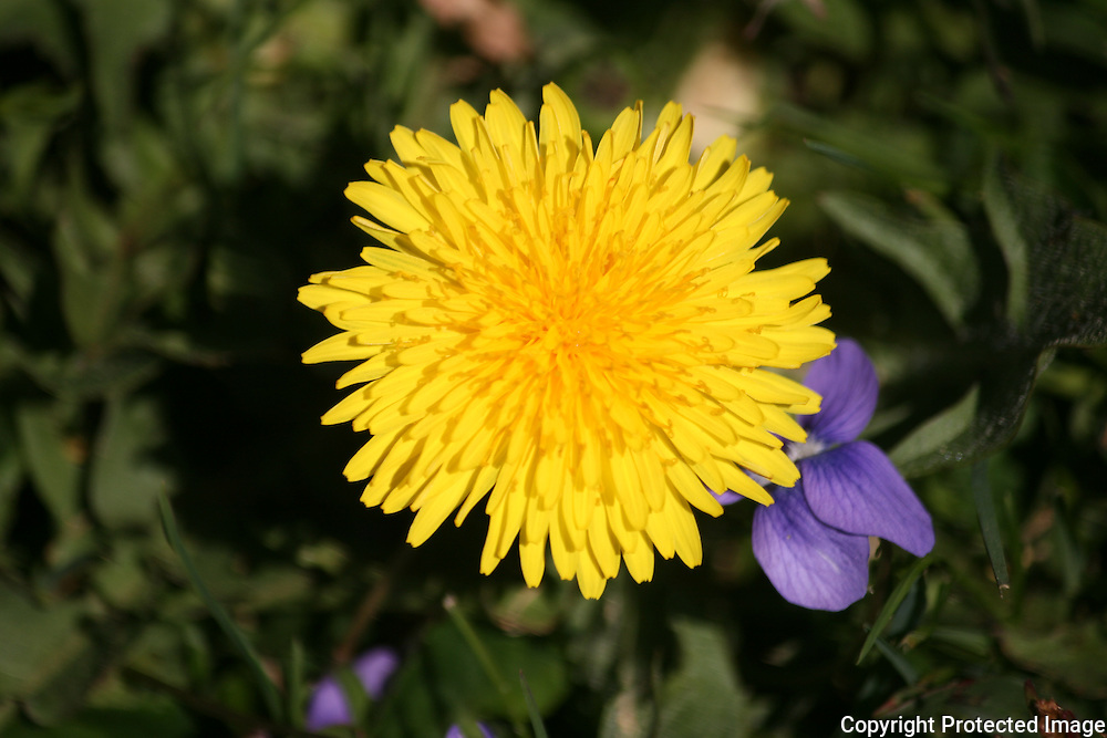 Yellow Dandelion and purple violet