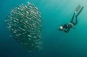 South African sardine (Sardinops sagax) &amp; snorkeler<br /> Forming baitball<br /> Sardine run,<br /> Eastern Cape<br /> SOUTH AFRICA