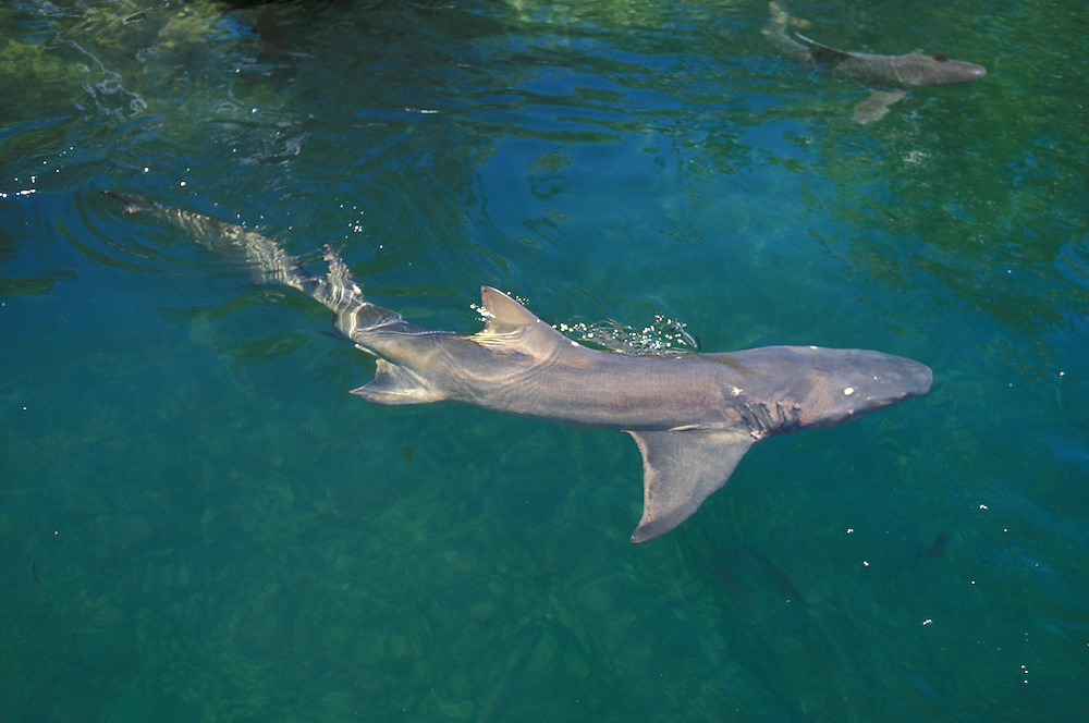 Shark,Florida,USA