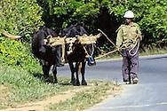 Man leading oxen near Vinales, Pinar del Rio, Cuba.