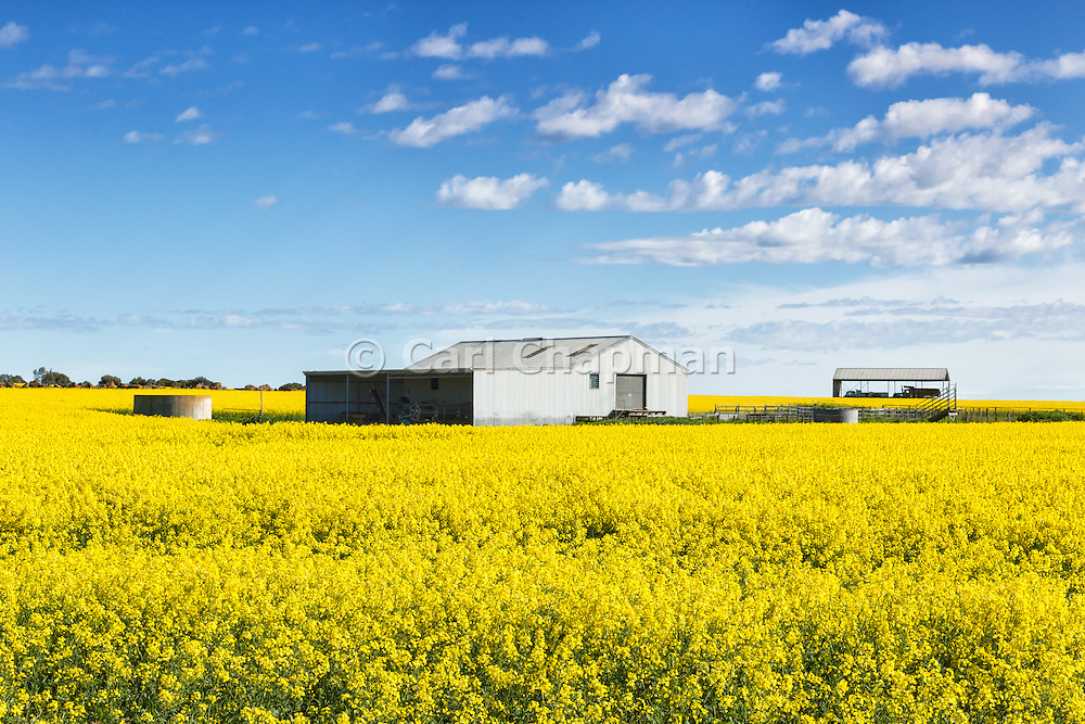 equipment shed and shelter in a field of flowering canola crop under blue sky and cumulus cloud at Cressy, Victoria, Australia.