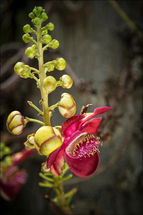 Cannonball tree flower at Foster Botanical Garden in Honolulu, HI. ©PF Bentley