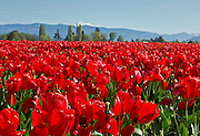 WA13069-00...WASHINGTON - Colorful field of tulips blooming at RoozenGaarde Bulb Farm near Mount Vernon with Mouny Baker in the distance.