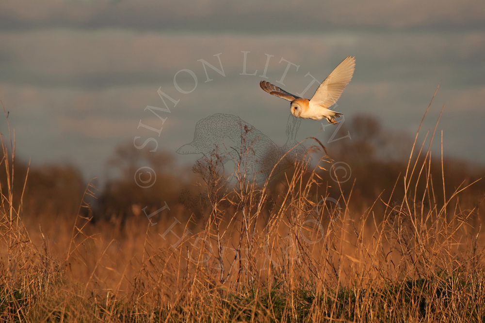 Barn Owl (Tyto Alba) adult in flight over reed bed, Norfolk Broads, UK.