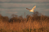 Barn Owl (Tyto Alba) adult in flight over reed bed, Norfolk Broads, UK.