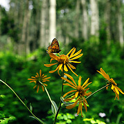 SHOT 7/16/11 12:58:31 PM - A butterfly lands on a flower amongst a grove of aspen trees in Durango, Co. The San Juan Mountains are a high and rugged mountain range in the Rocky Mountains in southwestern Colorado. The area is highly mineralized (the Colorado Mineral Belt) and figured in the gold and silver mining industry of early Colorado. The San Juan and Uncompahgre National Forests cover a large portion of the San Juan Mountains. (Photo by Marc Piscotty / © 2011)