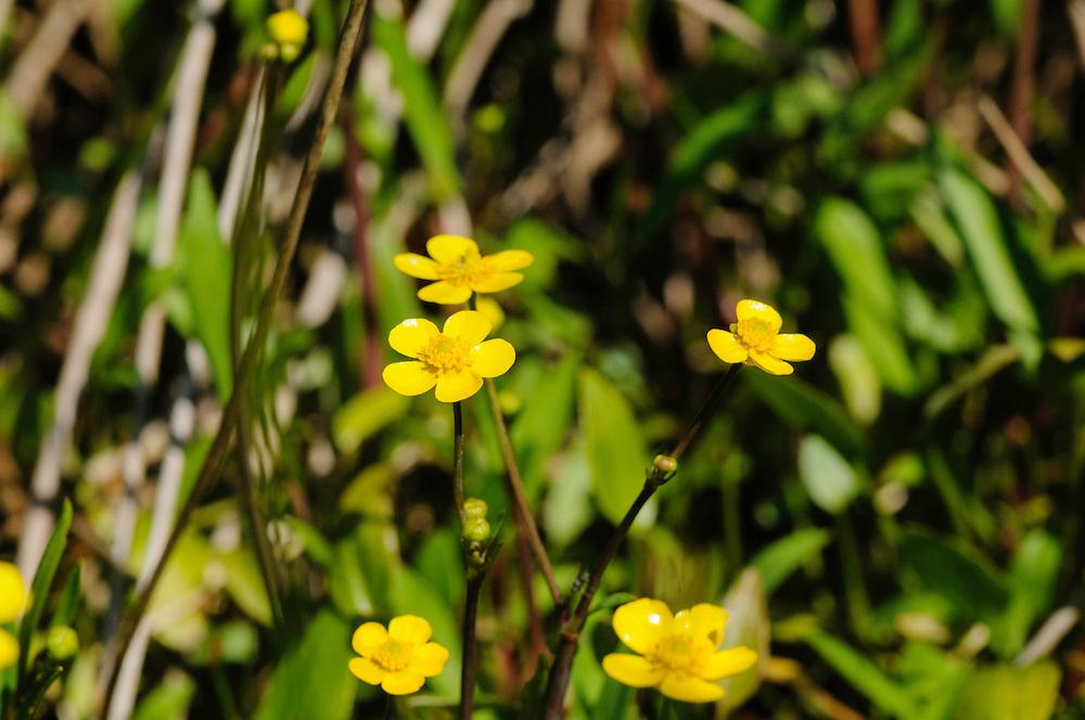 Egelboterbloem, Ranunculus flammula
