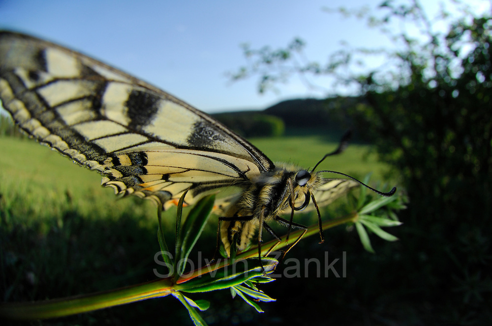 Der Schwalbenschwanz (Papilio machaon) ist ein Schmetterling (Tagfalter) aus der Familie der Ritterfalter (Papilionidae). | swallow-tail butterfly (Papilio machaon)