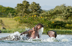 The hippopotamus (Hippopotamus amphibius),  a large, mostly plant-eating African mammal, one of only two extant species in the family Hippopotamidae. Lake Naivasha is a freshwater lake in Kenya, lying north west of Nairobi, outside the town of Naivasha. It is part of the Great Rift Valley. Hipopotamo no lago Naivasha. Hipopotamo, nome generico de um mamifero ungulado pertencente a familia Hippopotamidae. Eh um artiodatilo anfibio, proprio da Africa.