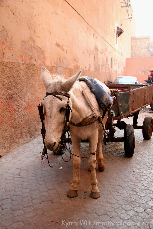 North Africa, Africa, Morocco, Marrakesh. A donkey awaits its burden in an alley off the Djeema el Fna.