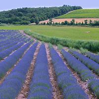 Lavender field near Venasque,Vaucluse,Provence,France,Europe