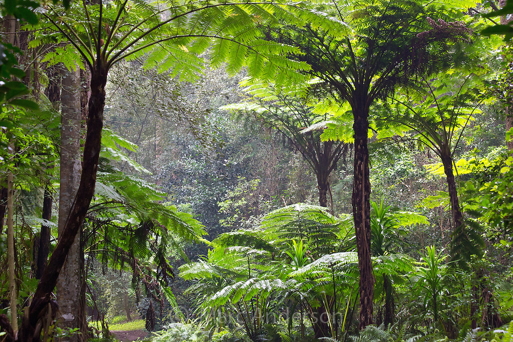 Norfolk Island Tree Fern