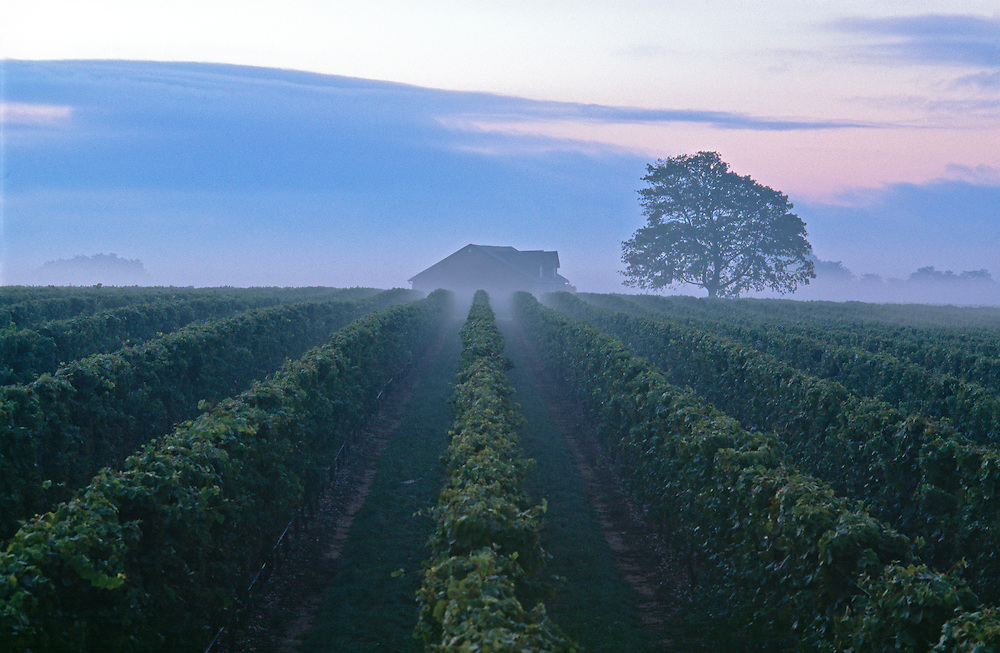 Duck Walk Vineyards, Cutchogue, vines in morning fog, New York