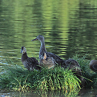 Duck with Ducklings<br />