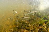 Alewife (with Blueback Herring)<br />