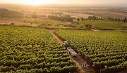 Harvesting Eileen's block of pinot noir, Cristom estate vineayrds,, Eola-Amity Hills, Willamette Valley, Oregon