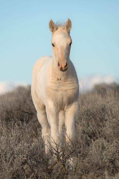 Born in late September to the mare, Tuff, and the stallion, Derby, this cute little filly is ready to greet her first winter season. With two such great parents, I'm nearly certain she will thrive.