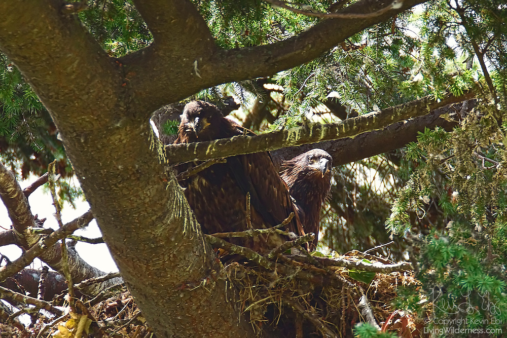 Two juvenile bald eagles (Haliaeetus leucocephalus), approximately seven weeks old, sit together on their nest in Heritage Park, Kirkland, Washington. At this stage of development, both birds would regularly take turns testing their wings and sitting on the edge of the next, but it was another two weeks before they took their first flights.