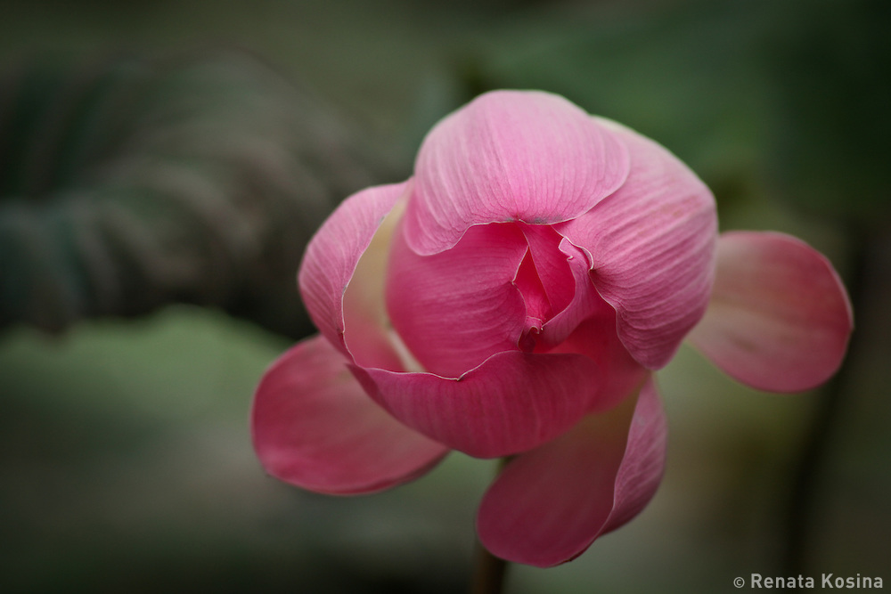 As a budhist symbol of higher spiritual growth, this lotus flower is opening in a pond next to Ubud temple. Pink lotus is believed to be the most supreme and is connected to the highest deity.