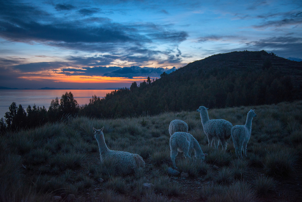 South America,Peru, Suasi island,  Lake Tititaca, Alpacas