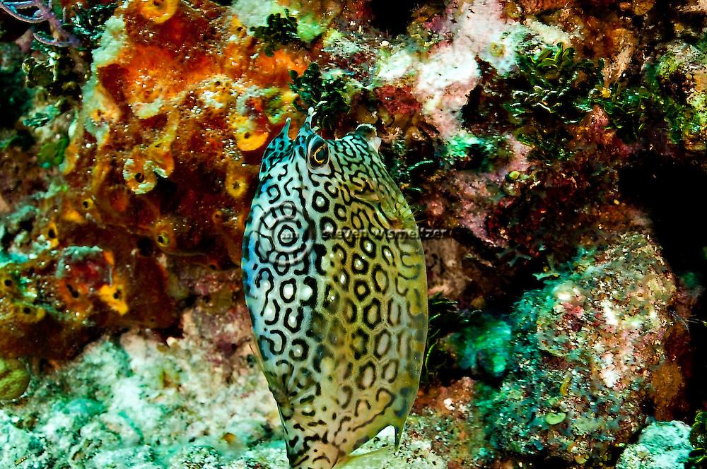 Honeycomb Cowfish, Acanthostracion polygonius, Poey, 1876, Grand Cayman