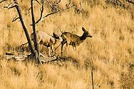 Mule deer buck (Odocoileus hemionus)getting scent of doe in heat  west of Livingston Montana<br /> PROPERTY RELEASED