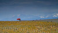 Lonley, small bush with red coloured flowers on the Chilean pampa, Patagonia, Chile