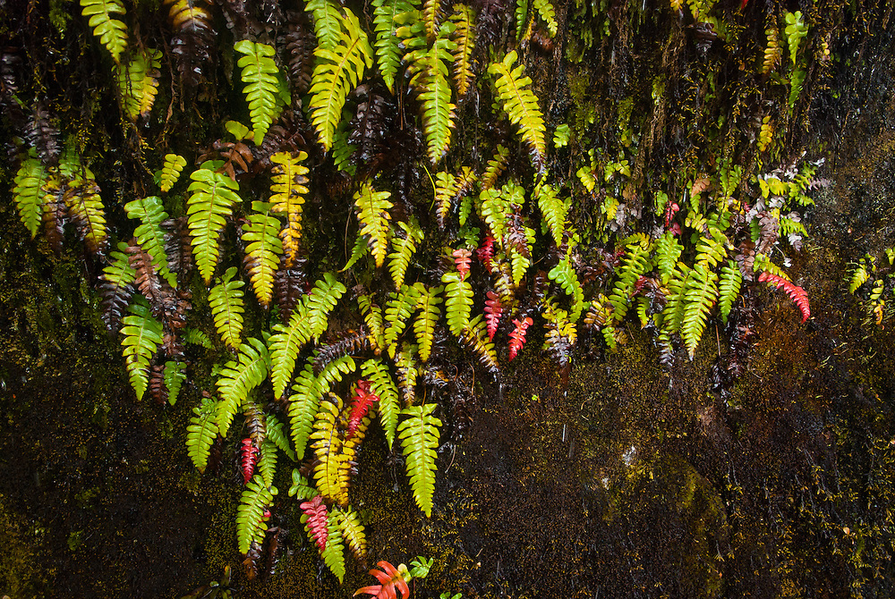 Thread fern 'Blechnum filiforme' growing up a moss-covered rockface and displaying red, green and decaying leaf forms; Milford Track, New Zealand