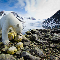 Norway, Svalbard, Spitsbergen Island, Remote camera view of Polar Bear (Ursus maritimus) chewing on vertebrae of dead Fin Whale