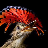 Royal Flycatcher (Onychorhynchus coronatus) in Cocobolo rainforest of Panama